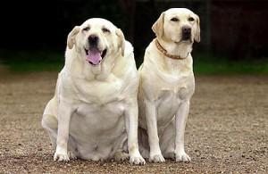 Fat dogs are not cute