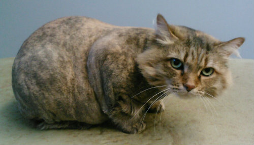 Wheaton AH - After Cat Grooming