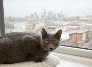 Grey Cat Lying on Window Sill Looking out over New York City