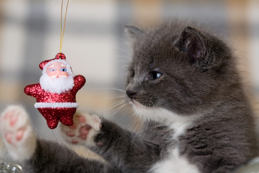 grey kitten playing with an little santa claus