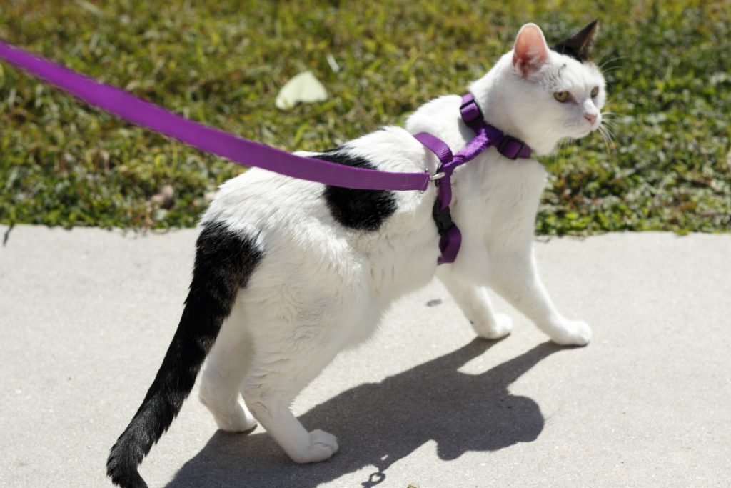 Train Your Cat To Walk On A Leash You Bet Wheaton