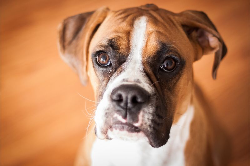 A close-up of a Boxer dog against a blurred hardwood floor