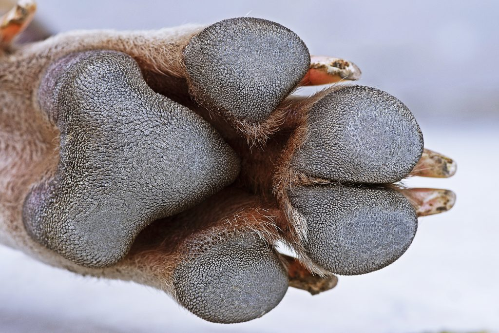 dog paw close up