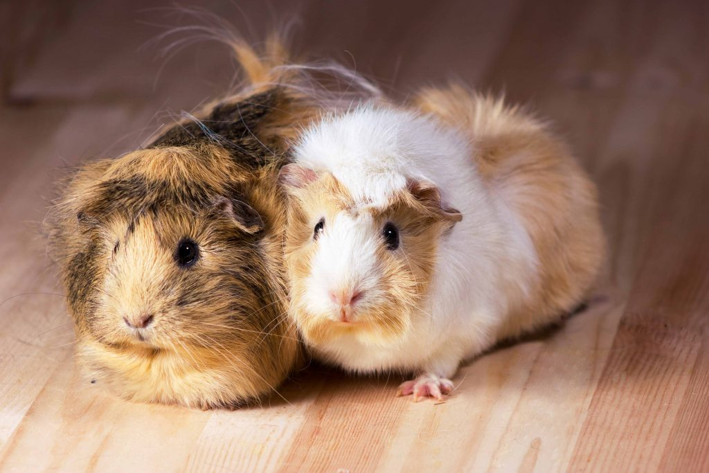A brown guinea pig and white guinea pig