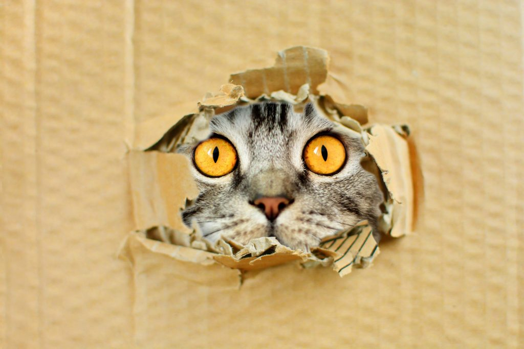 Gray cat with yellow eyes lokking through cardboard box hole