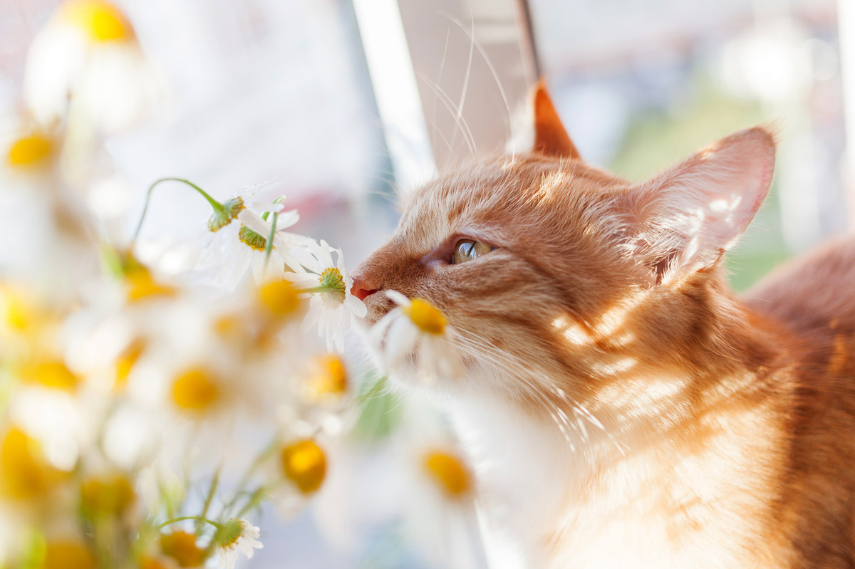 Red Cat Smells a Bouquet of Chamomiles